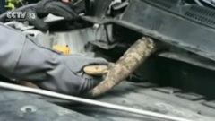 Encuentra una cobra de tres metros en el motor de su coche