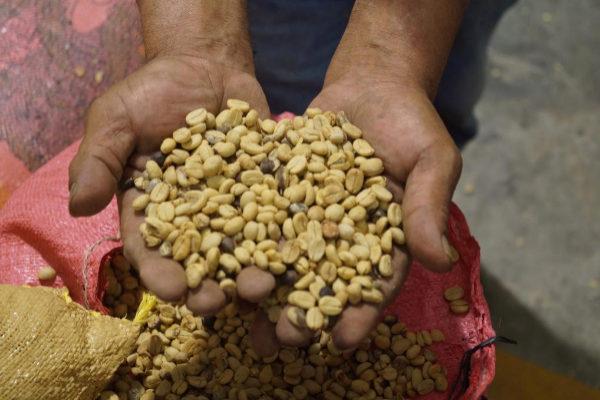 Un caficultor mexicano con un puñado de granos de café.