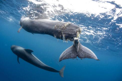 Imágenes tomadas por el ganador español del World Press Photo. Se puede ver la cola seccionada de la ballena piloto. El gran corte impedía su supervivencia.