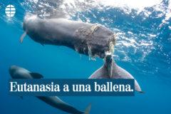 La triste historia de una ballena que recibió la eutanasia