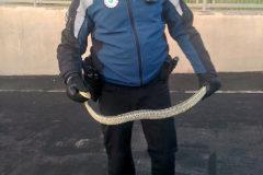 Un agente sostiene la serpiente capturada.