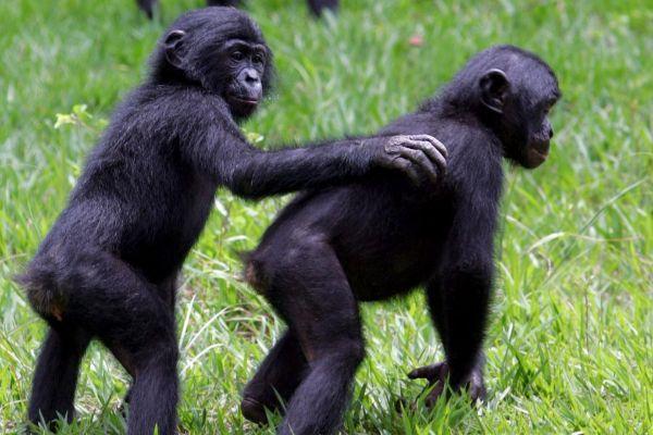 """Dos simios hembra de bonobo juegan en el parque """"Lola ya bonobo"""",..."""