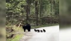 Una mamá osa ayuda a sus ositos a cruzar la calle