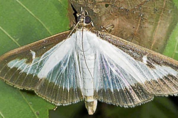 La polilla invasora 'Cydalima perspectalis', especie que ataca a diferentes especies de boj.