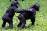 """Dos simios hembra de bonobo juegan en el parque """"Lola ya bonobo"""", situado en la República Democrática del Congo."""