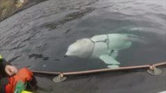 ¿Beluga o espía ruso?
