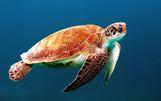 Una tortuga marina, uno de los grupos más amenazados, nadando en el océano.