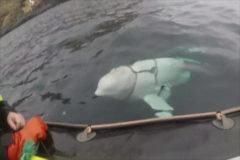 ¿Beluga o espía ruso? Hallan una beluga con un arnés ruso