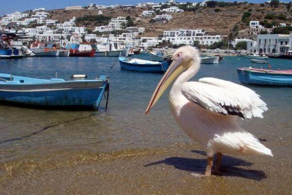 Pelícano en Mykonos.