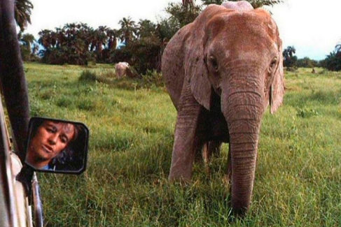 ¿Por qué las elefantas de Mozambique  no tienen colmillos de marfil?