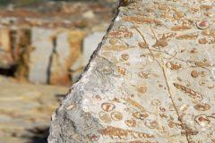 Bloque de mármol con los fósiles marinos incrustados, extraído en la cantera de Zulinea (Castellón).