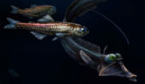 Pez ojo de tubo ('Stylephorus chordatus') y pez linterna ('Benthosema sp'.)