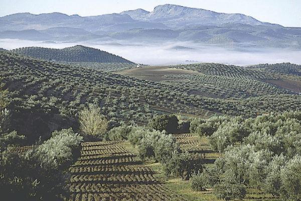 Paisaje de olivar con Sierra Mágina al fondo.