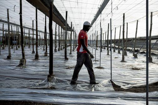 Un inmigrante trabaja en uno de los invernaderos de El Ejido (Almería), esta semana en vísperas de las elecciones municipales en las que Vox aspira a lograr la Alcaldía..