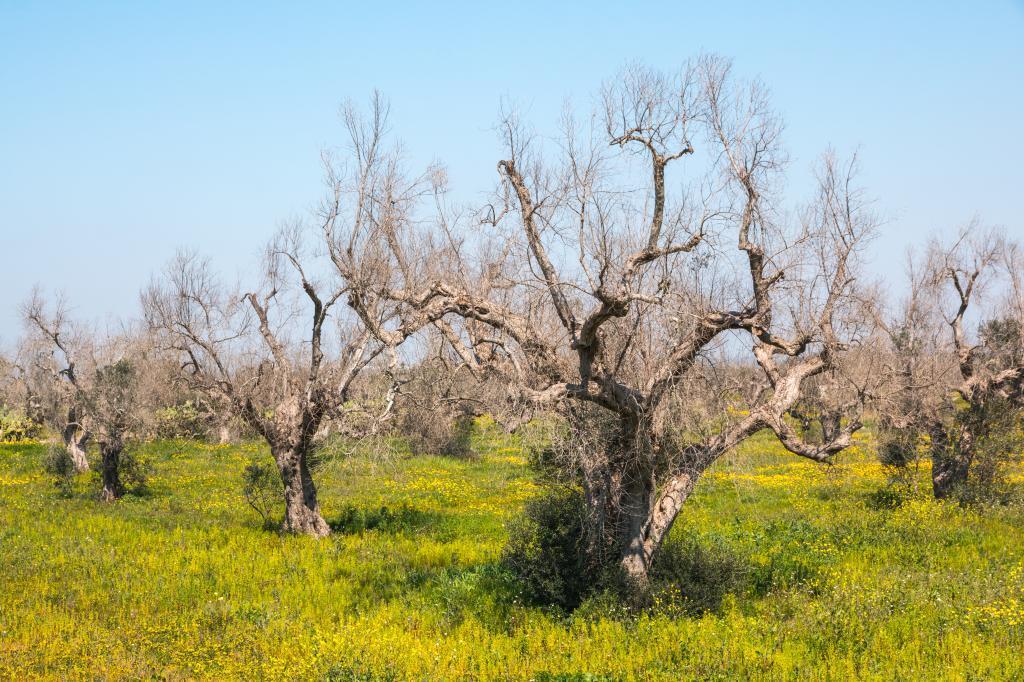 Olivos afectados por la bacteria 'X. fastidiosa' en Salento, en el sur de Itaila.