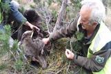 El oso Goiat, junto a técnicos que le cambiaron el collar con el GPS