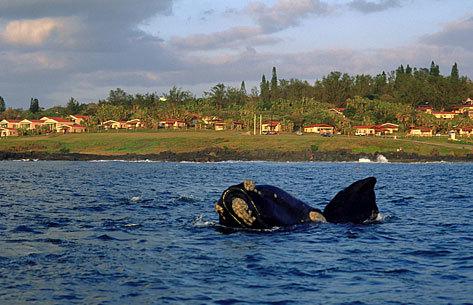 Ballena frente a la costa de la localidad de Hermanus.