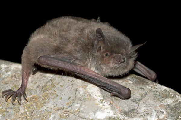 Murciélago ratonero patudo (Myotis capaccinii), especie en peligro de extinción en España.