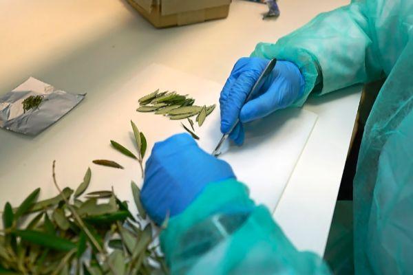 El laboratorio de Sanidad Vegetal realizando estudios sobre la 'Xylella fastidiosa'.