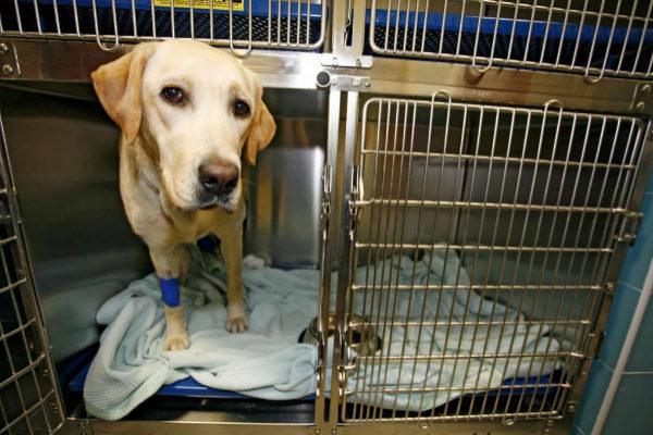 infección del oído de perro piel seca