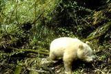 Un panda albino, en la Reserva Natural Nacional de Wolong (China).