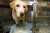 Un perro recién operado en el Hospital Veterinario del a Universidad Alfonso X.