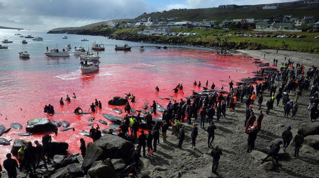 El ritual de matanza de ballenas vuelve a las Islas Feroe