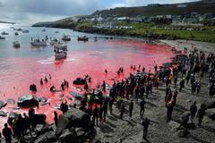 Vuelve el ritual milenario de matanza de ballenas