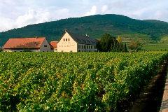 Viñedos de Weinbach, en Kayserberg.