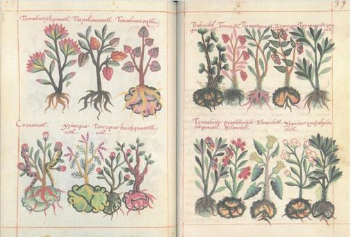 Un detalle del 'Libellus de medicinalibus Indorum herbis'.