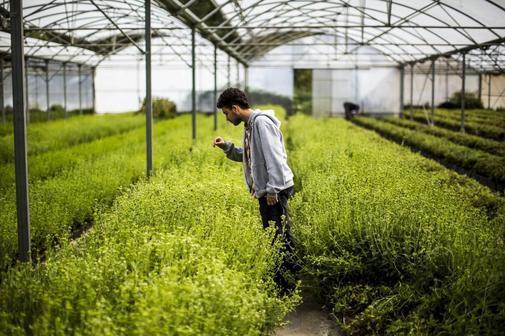 Un hombre observa las plantas de stevia en los invernaderos de una plantación de Lérida.