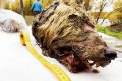 La cabeza, mucho mayor que la de los lobos actuales, se encontró en Yakutia.