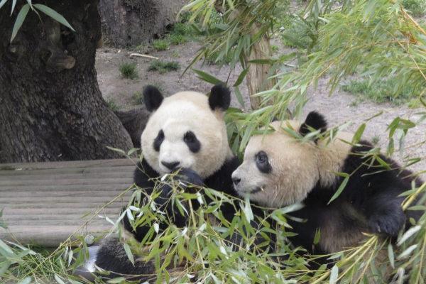 Crías de oso panda gigante del ZOO Aquarium de Madrid,