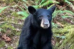 Sacrifican a un cachorro de oso negro por familiarizarse con  los humanos