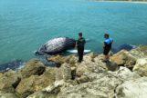 Aparece el cadáver de una cría de ballena en el Puerto de Gandía