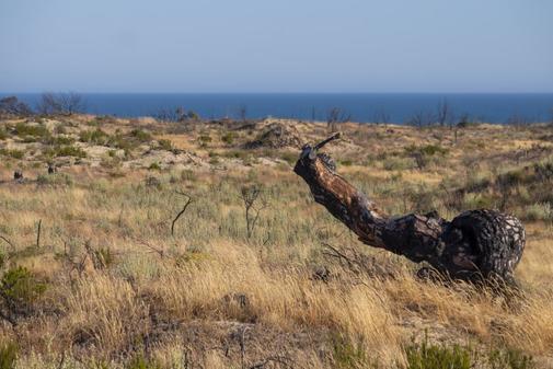 El tronco quemado de un pino domina el paisaje en esta zona del Asperillo, una de las más afectadas por el incendio de 2017.