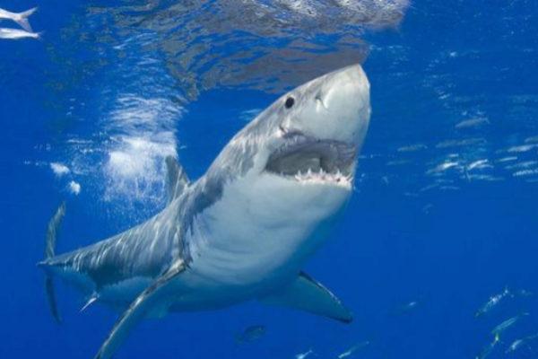 Un ejemplar de tiburón blanco.