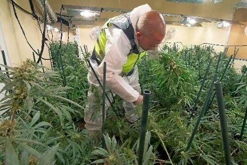 Un agente, en una plantación de marihuana