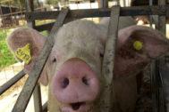 La provincia cuenta con hasta 500 granjas de porcino en la actualidad, según datos de La Unió.