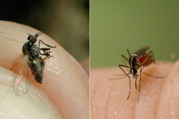 Imágenes de una mosca negra y un mosquito tigre