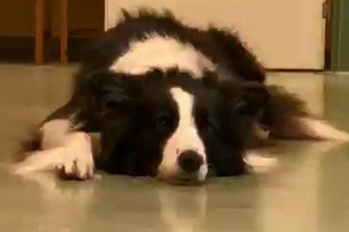 La perra Guinness deja de colaborar en el experimento d el Instituto de Investigación Messerli de la Universidad de Veterinaria de Viena