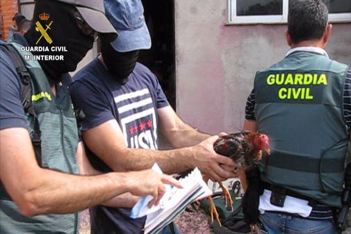Agentes de la Guardia Civil recuperan a uno de los gallos heridos.
