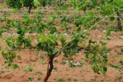 Hectáreas afectadas por el granizo en Utiel-Requena.