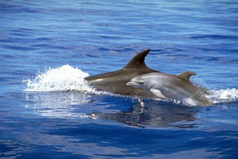 En el estudio se analizaron delfines mulares