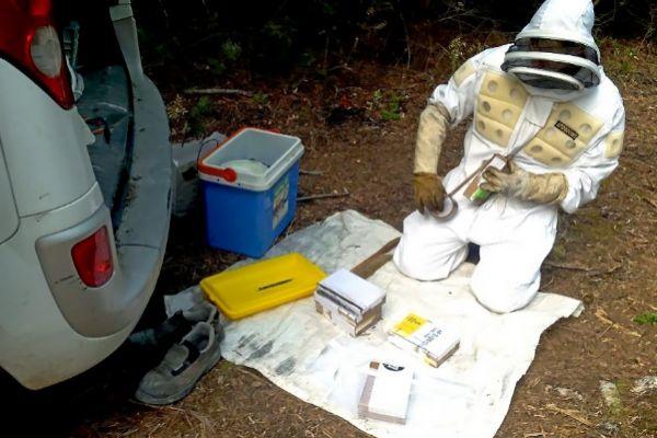 Captura de abejas en los apiarios de la Serra de Tramuntana para realizar esta investigación.