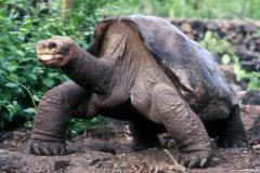 Solitario George, de las Islas Galápagos, superó los 100 años.