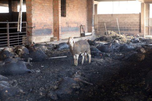 Sólo tres borregos quedaron vivos en la granja de Pere Anime: tuvieron que ser sacrificados