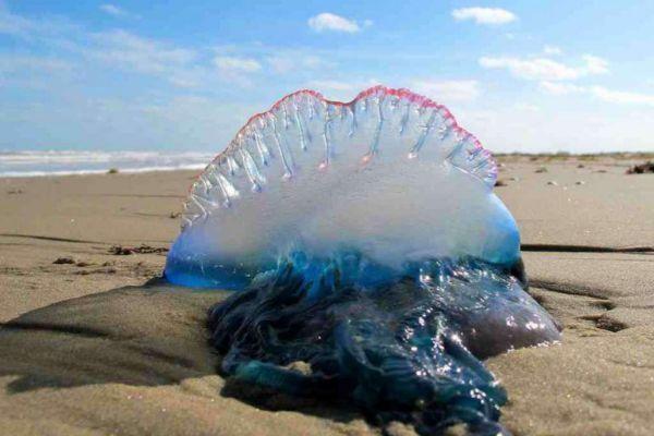 Medusa en la orilla de la playa