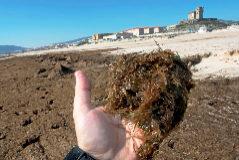 Detalle del alga, procedente de Japón y Corea