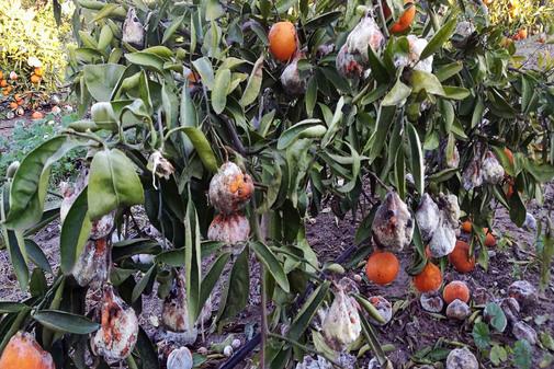 Decenas de toneladas de cítricos se han quedado en el suelo sin recoger en la pasada campaña citrícola.